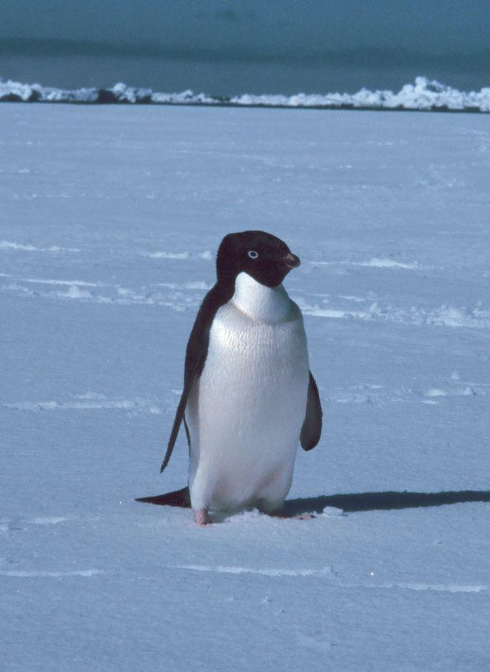 pinguin beschreibung