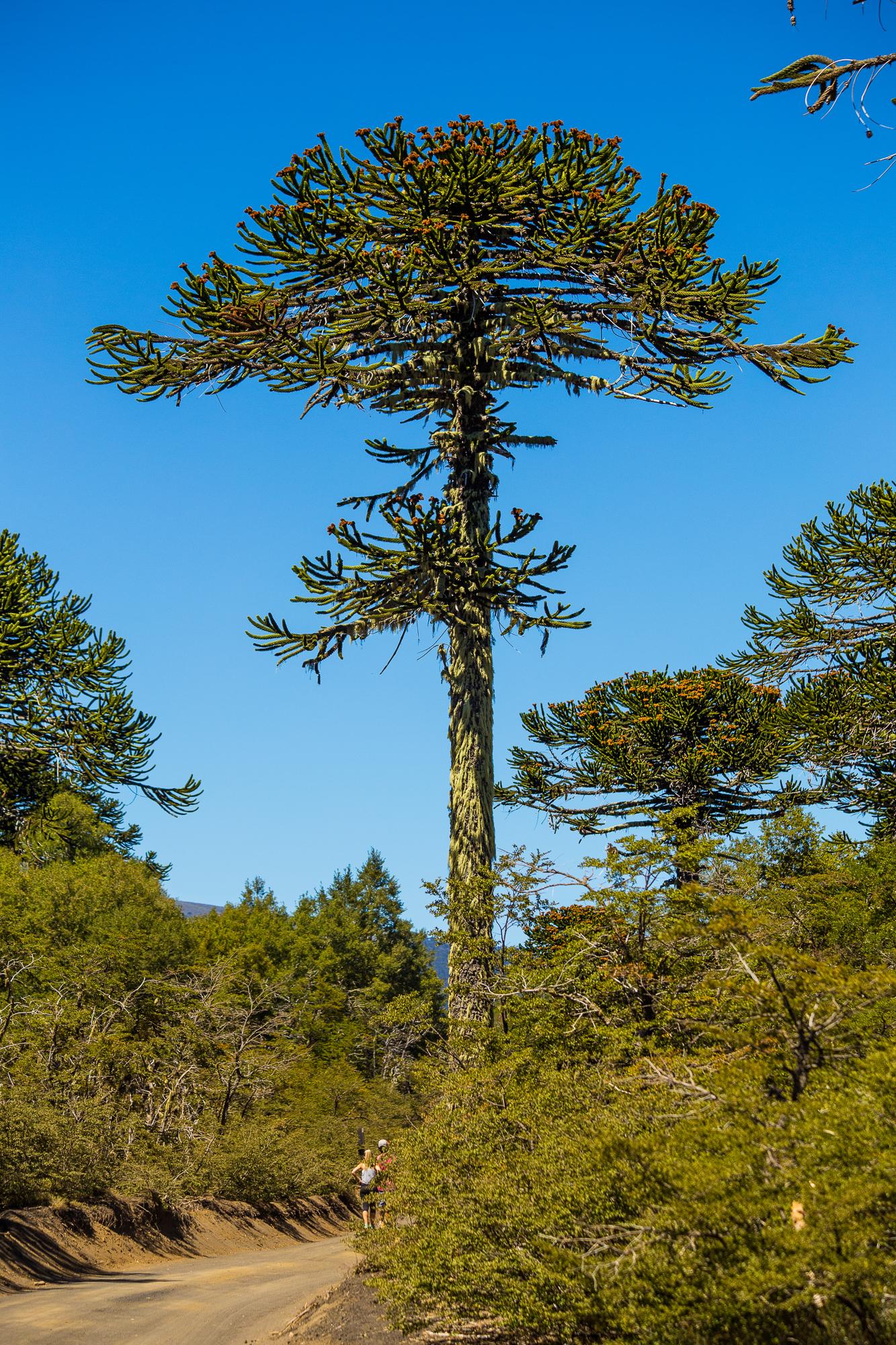 Araucaria en Parque Nacional Conguillio