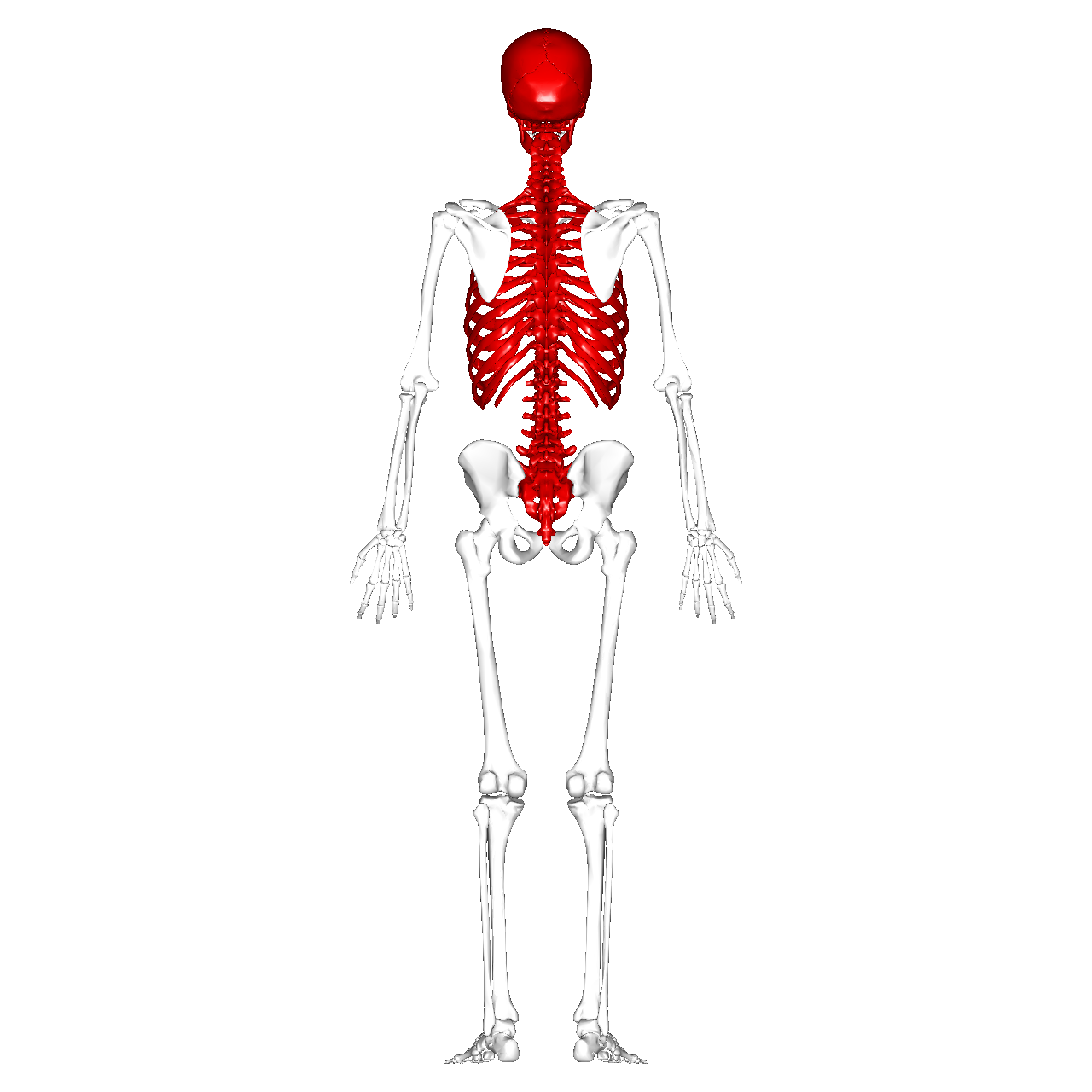 File:Axial skeleton - posterior view.png - Wikimedia Commons