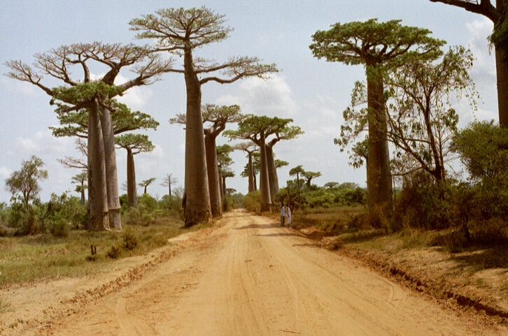 9 Fascinating baobab tree facts