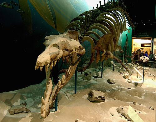Basilosaurus skeleton.jpg