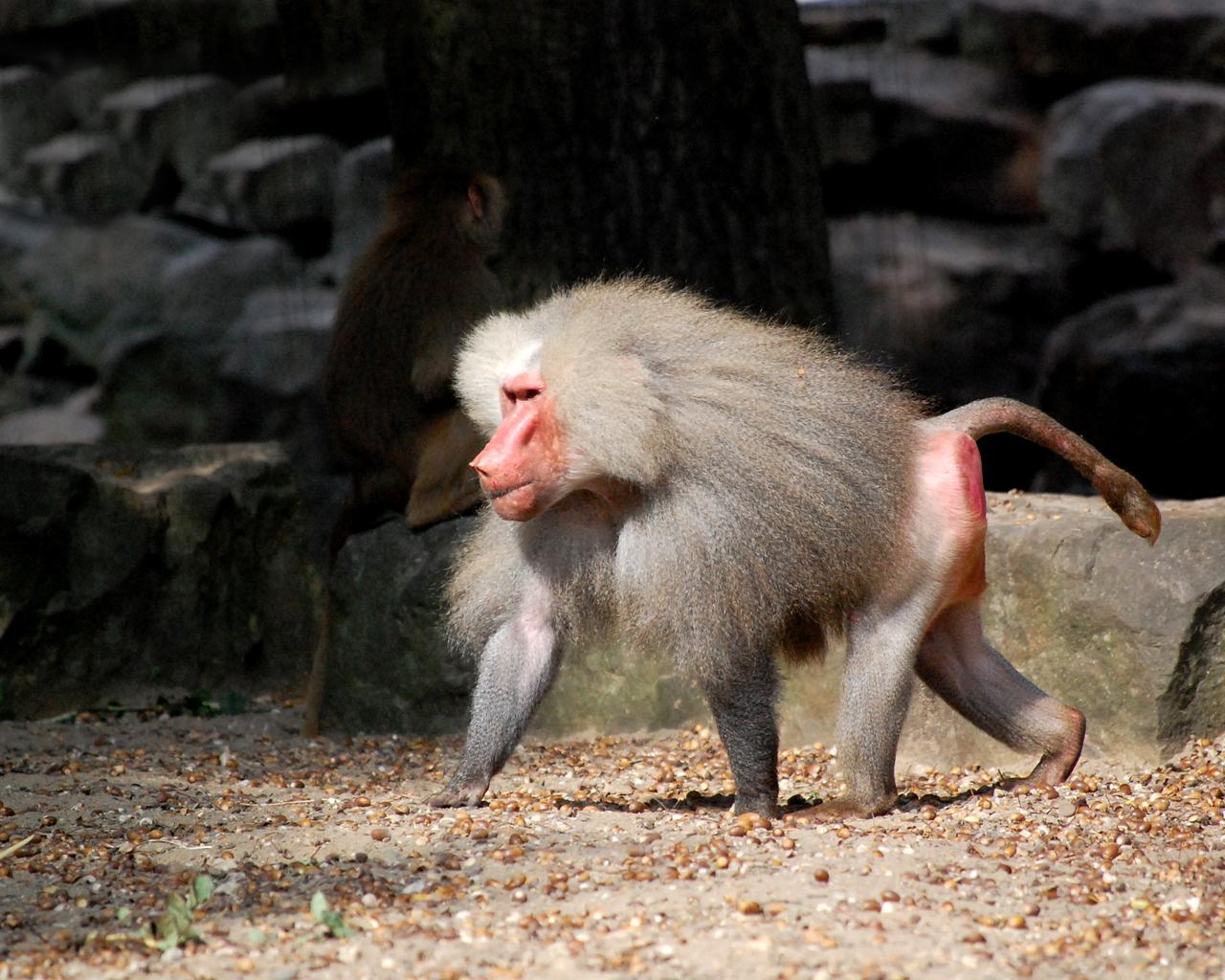 dierentuin madonna hot baviaan in de dierentuin van