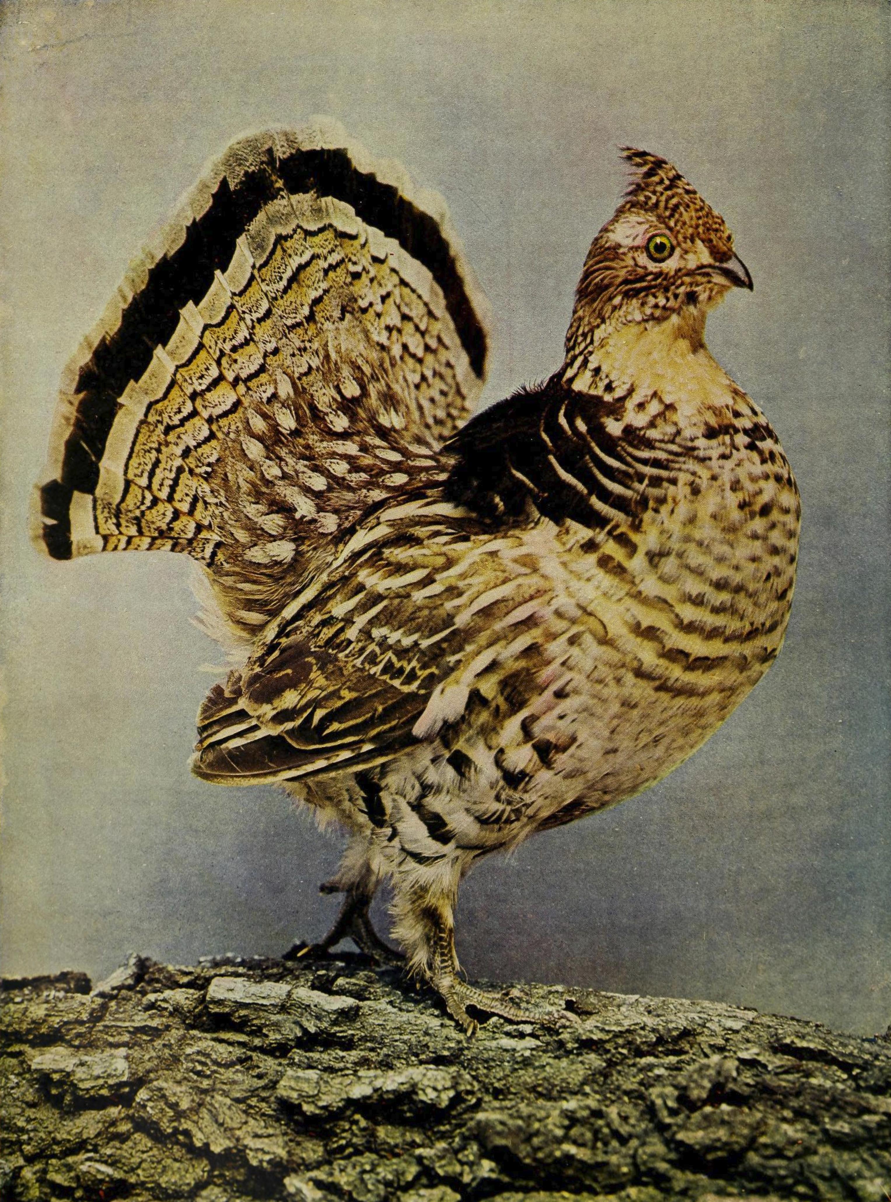 Bonasa umbellus 1905.jpg