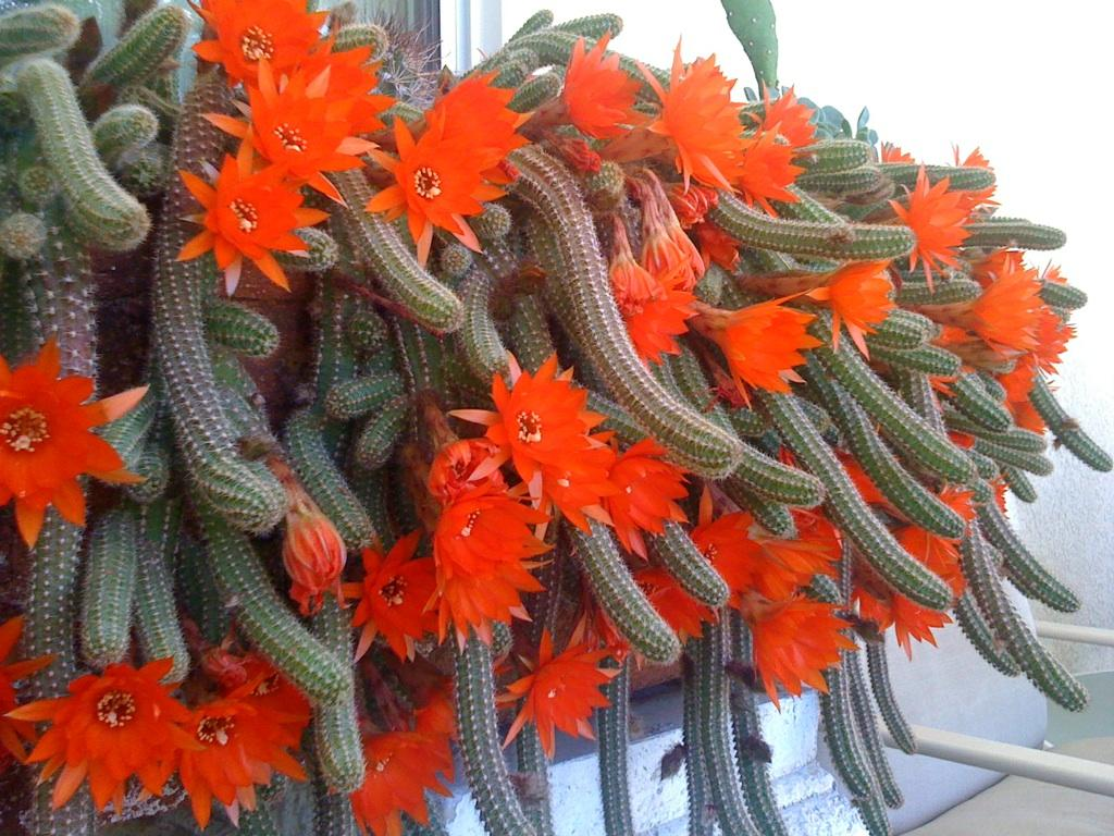 Nature Pictures Of Most Beautiful Cactus Flowers