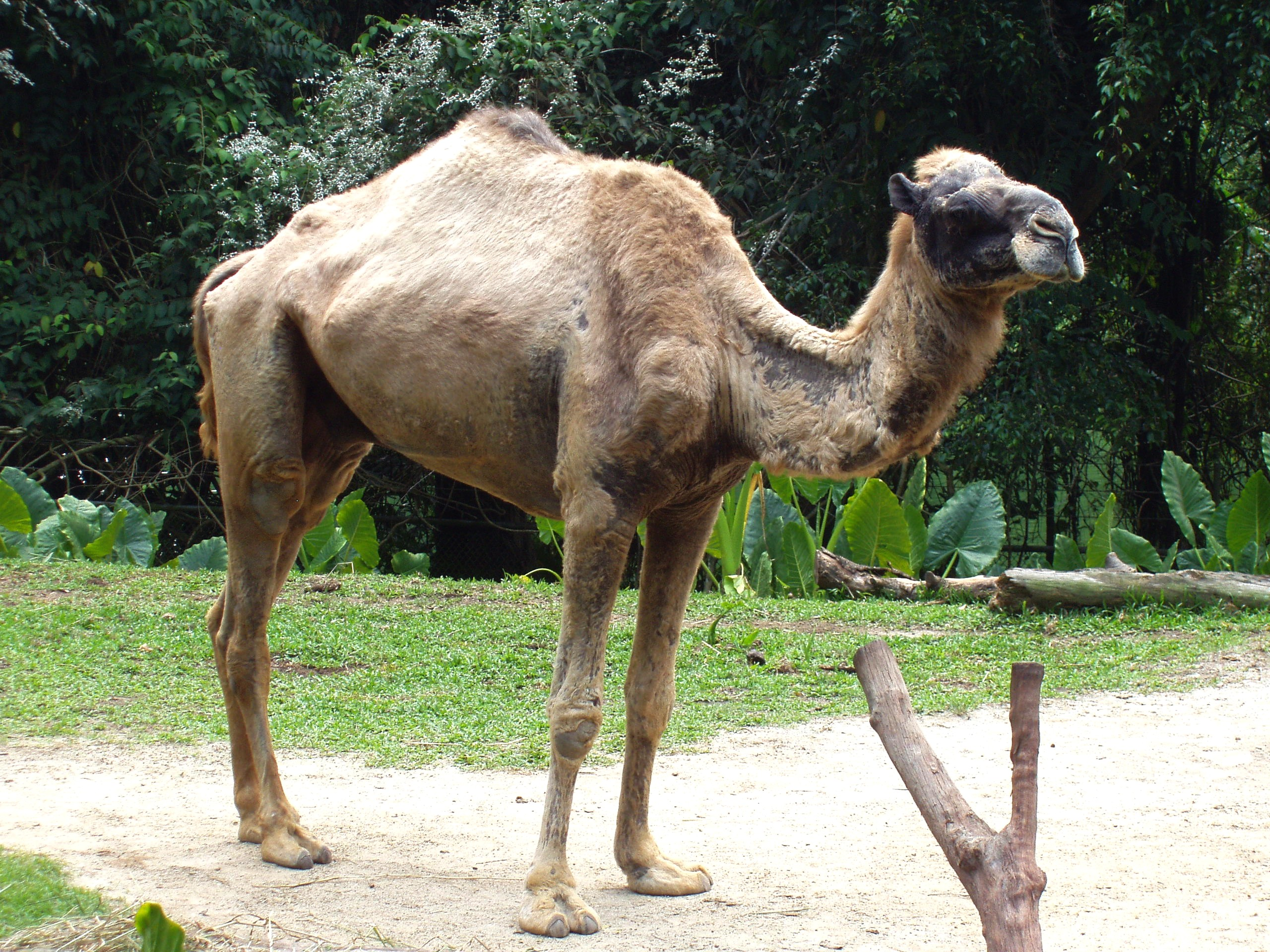 A camel standing in profile