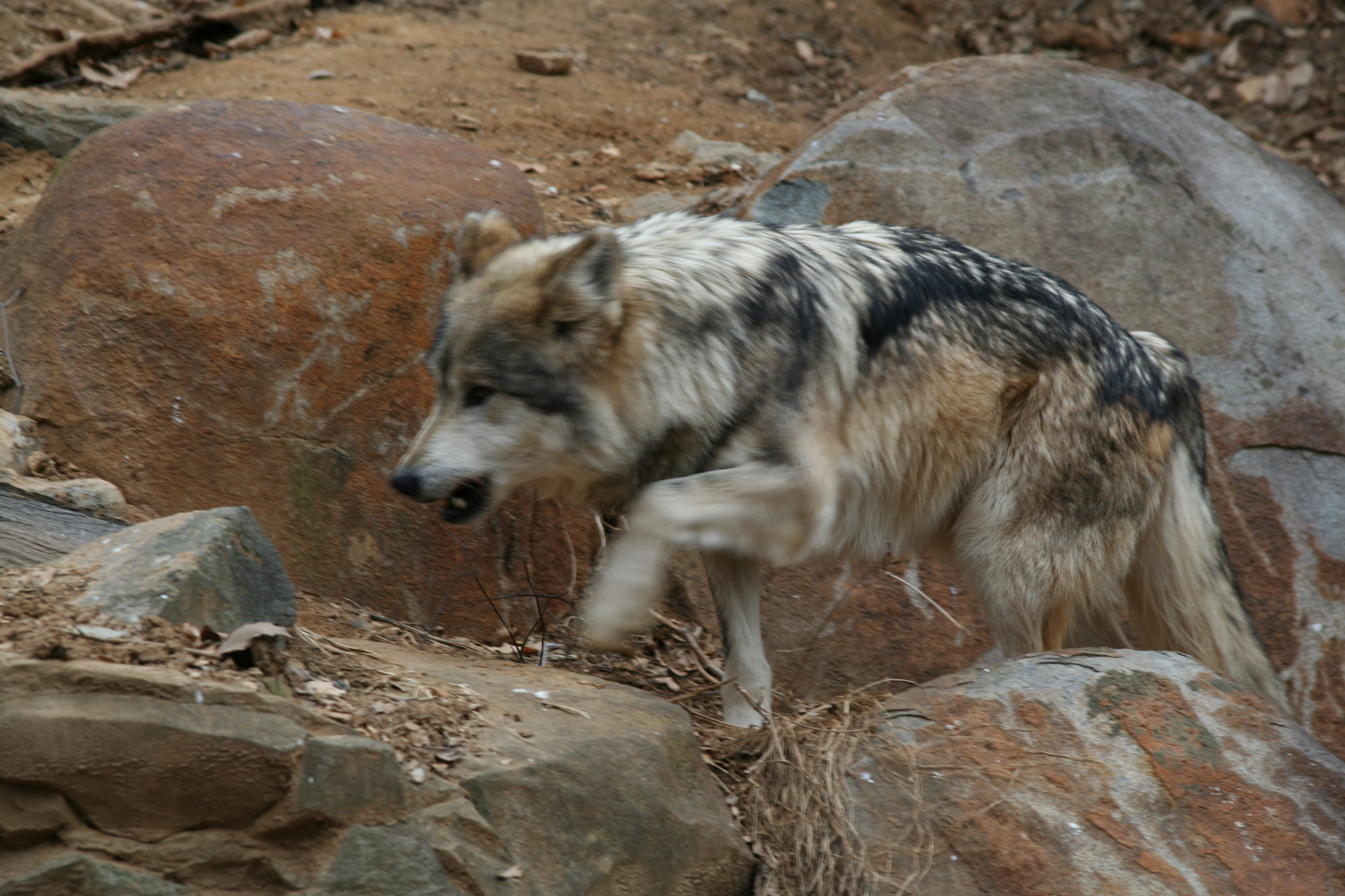 Description captive mexican wolf at the national zoo