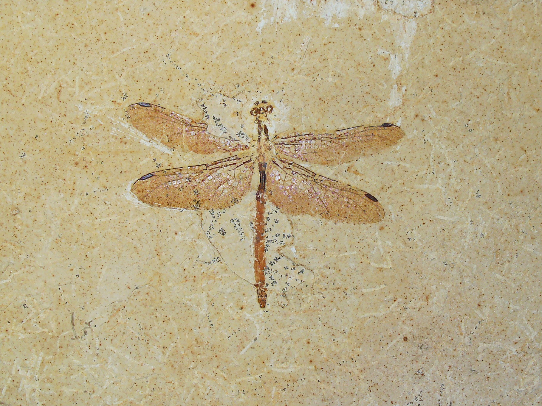 List of prehistoric insects - Wikipedia
