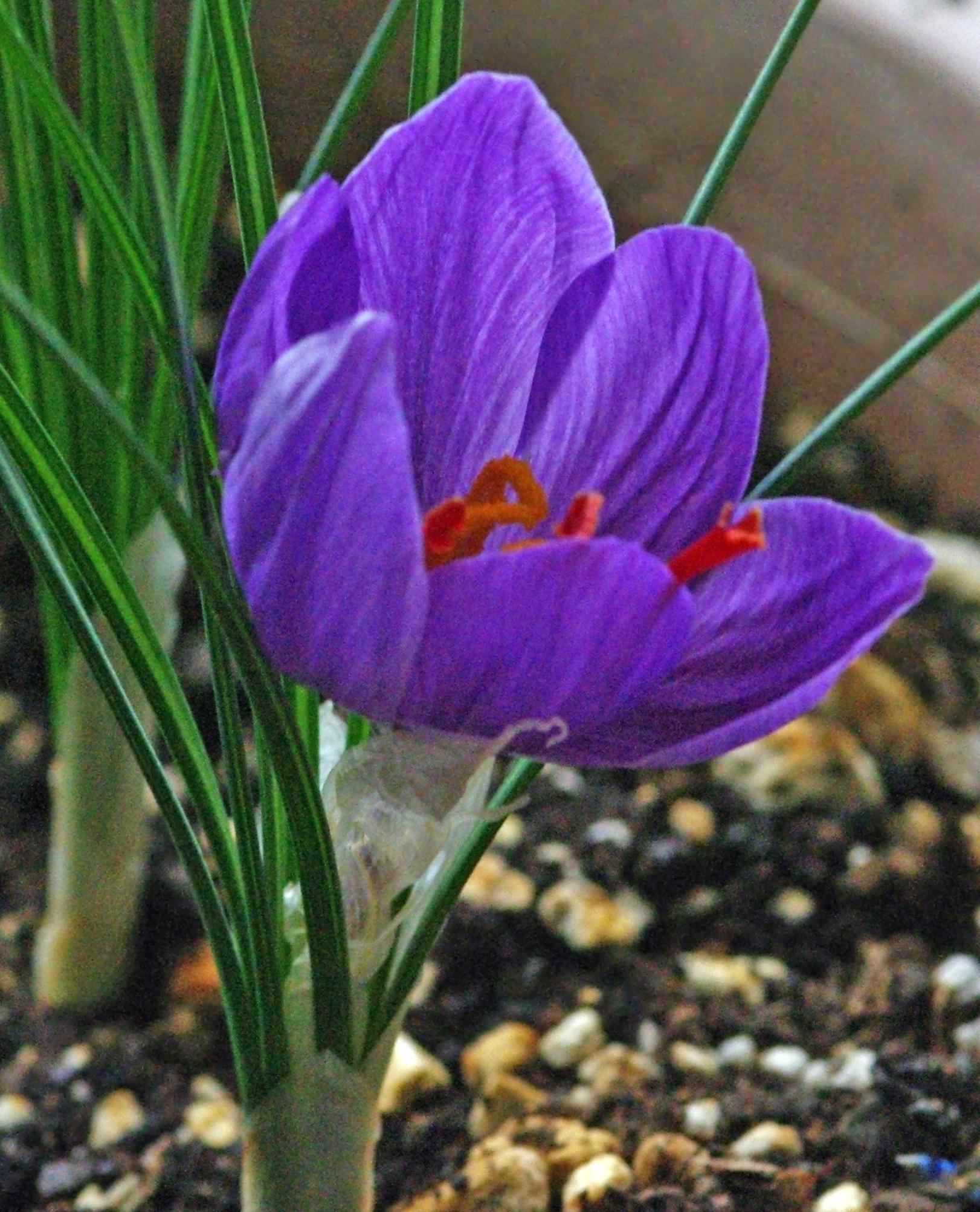 File:Crocus sativus - Saffron crocus - Safran 01.JPG - Wikimedia ...