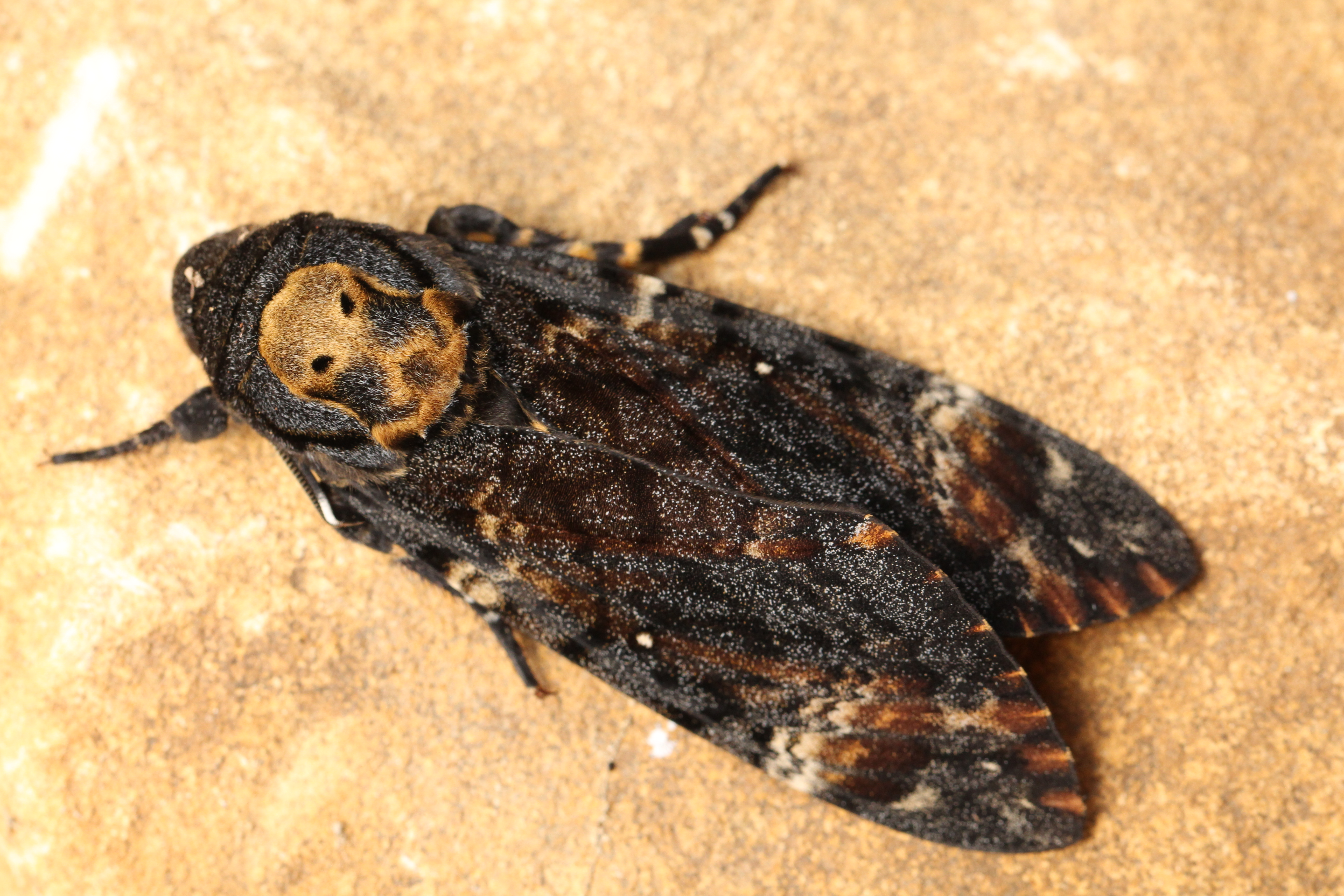 An image of a Death's-Head Hawk-Moth, made famous by The Silence of the Lambs.
