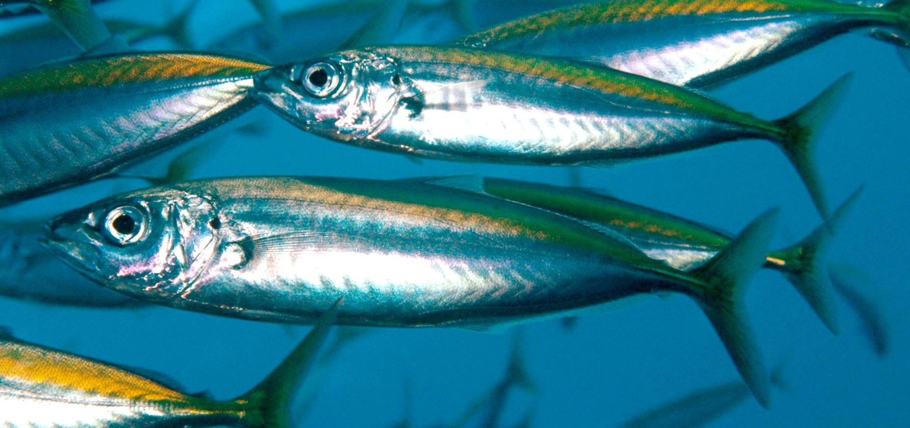Download 530 Gambar Ikan Air Laut Konsumsi HD Terbaik