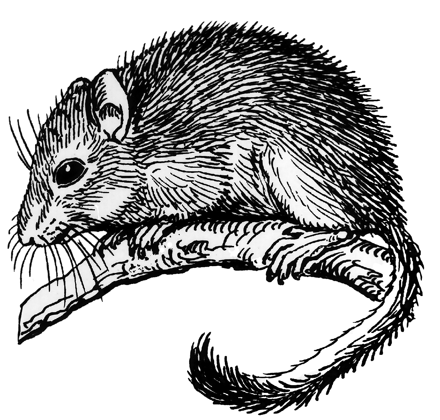 File:Dormouse (PSF).png - Wikimedia Commons