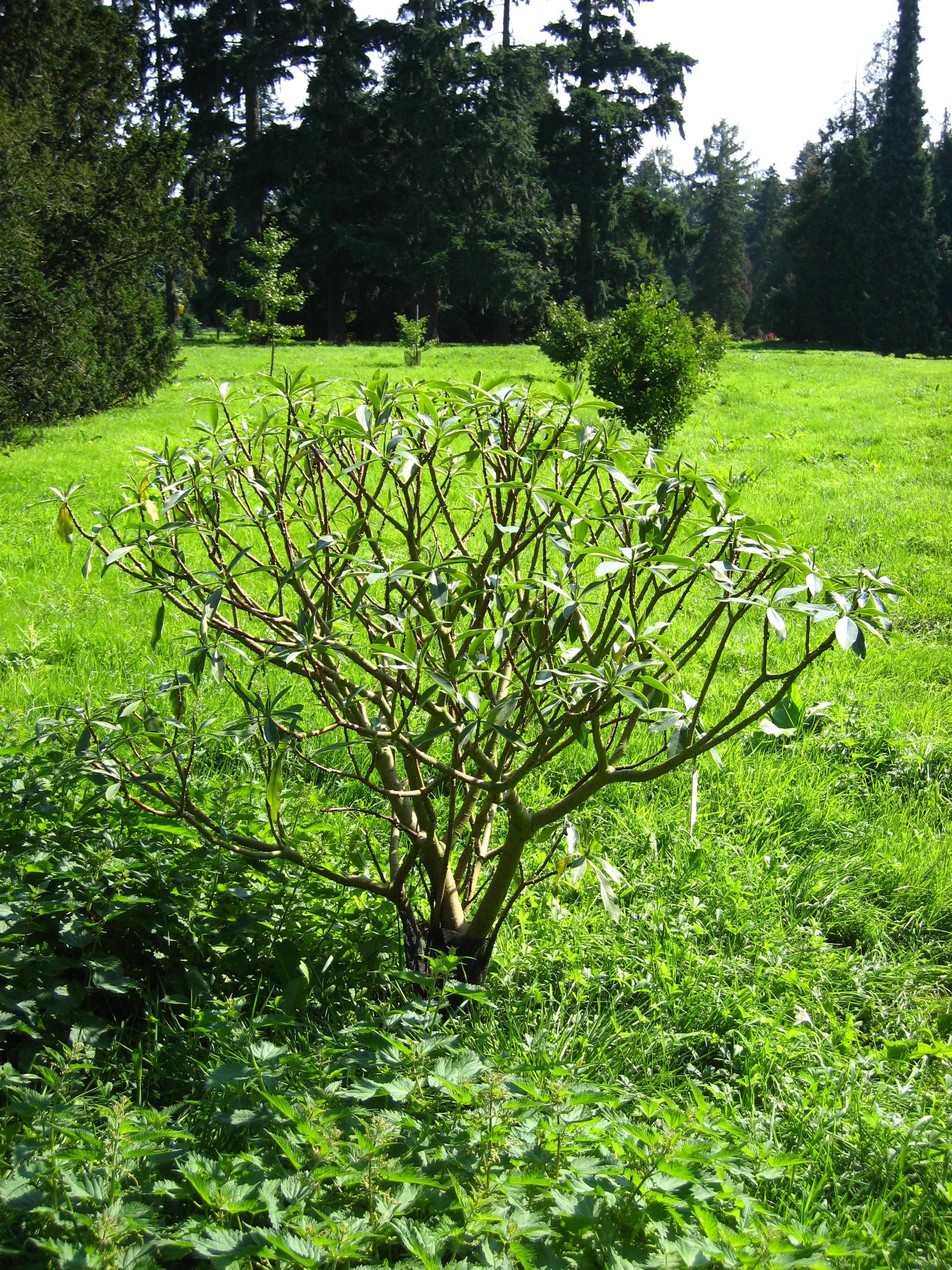 File edgeworthia wikimedia commons for Edgeworthia chrysantha