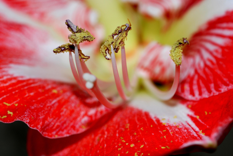 File gipe25 etamines d une fleur d amaryllis by jpg for Amaryllis fleurs