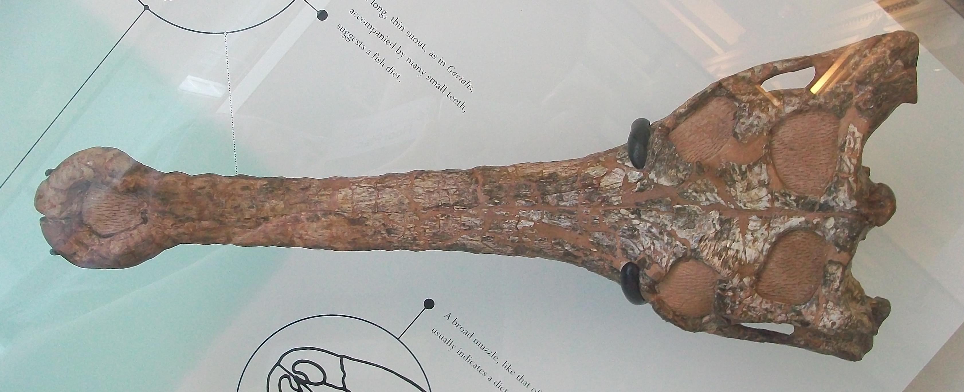 Gavial skull