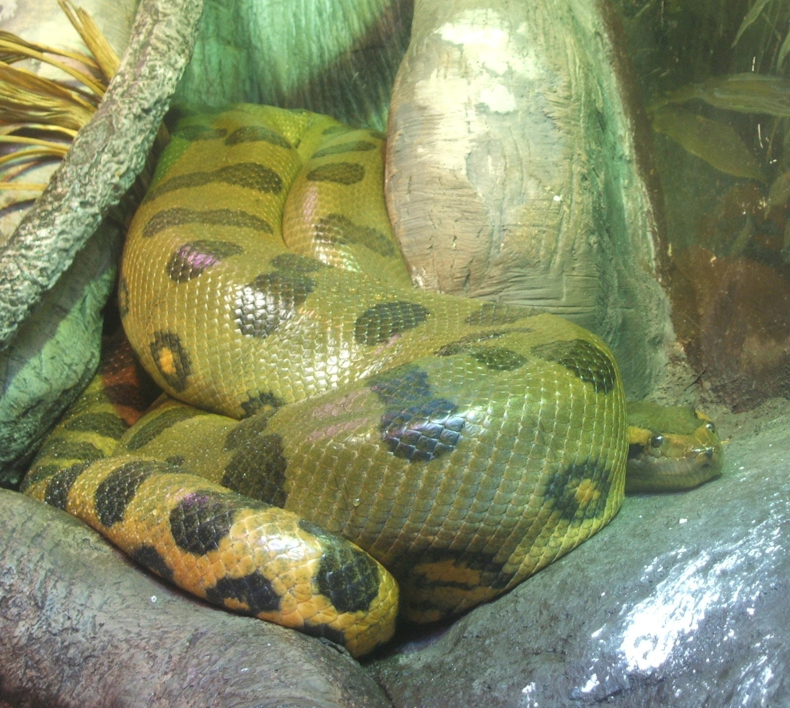 File:Green-anaconda.jpg - Wikimedia Commons