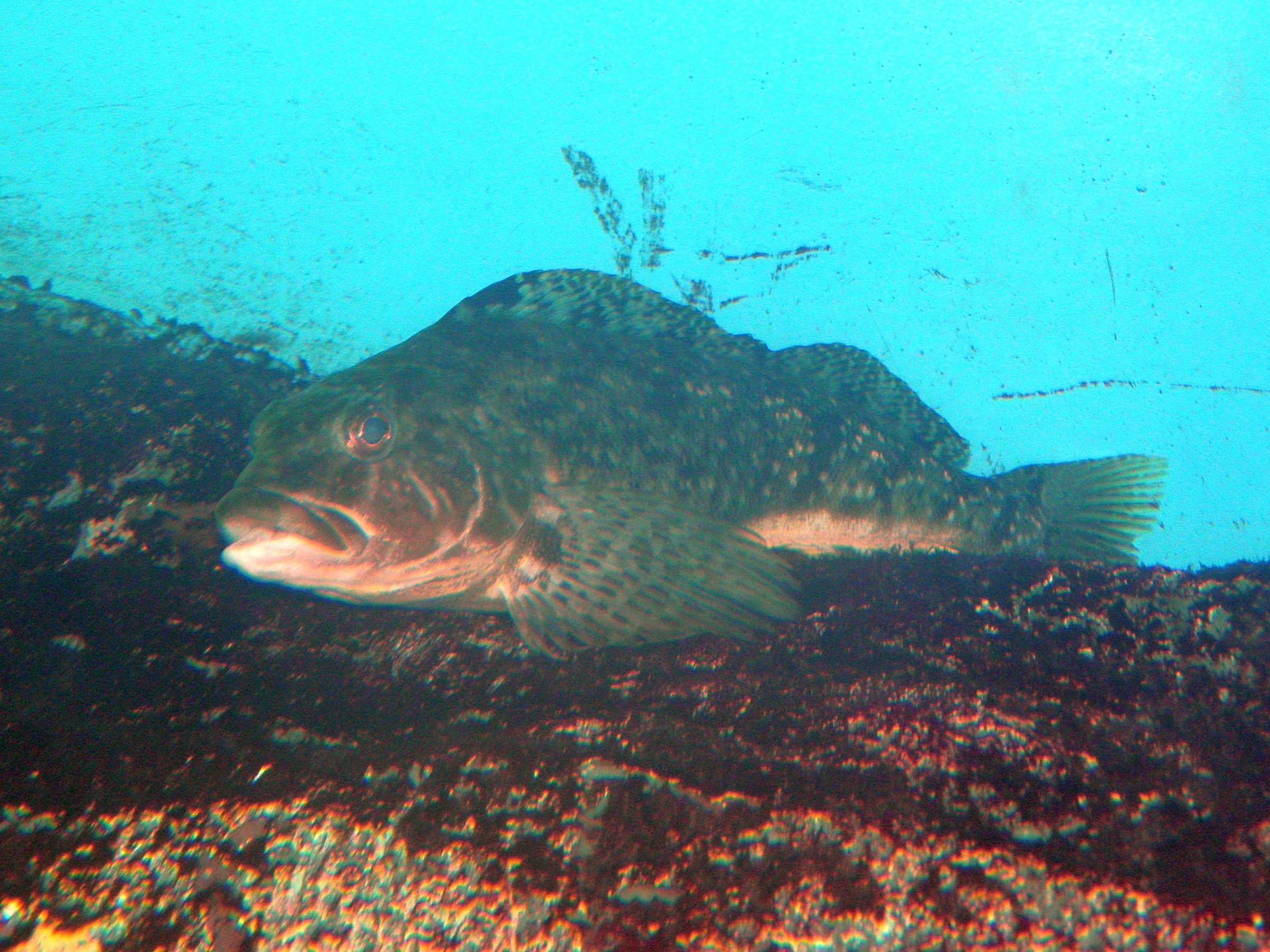 File:Hexagrammos agrammus in Oceanarium of Vladivostok.jpg - Wikimedia  Commons