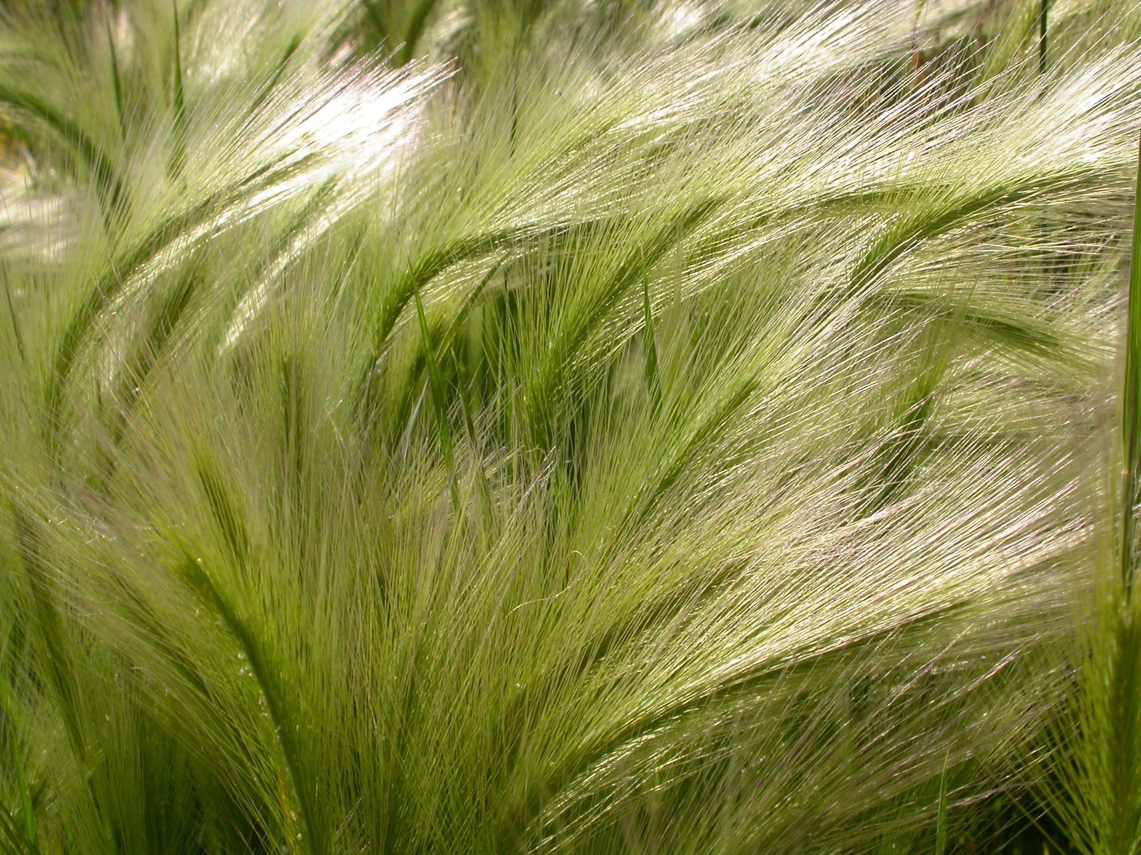 By Matt Lavin from Bozeman, Montana, USA (Hordeum jubatum Uploaded by Jacopo Werther) [CC BY-SA 2.0 (http://creativecommons.org/licenses/by-sa/2.0)], via Wikimedia Commons