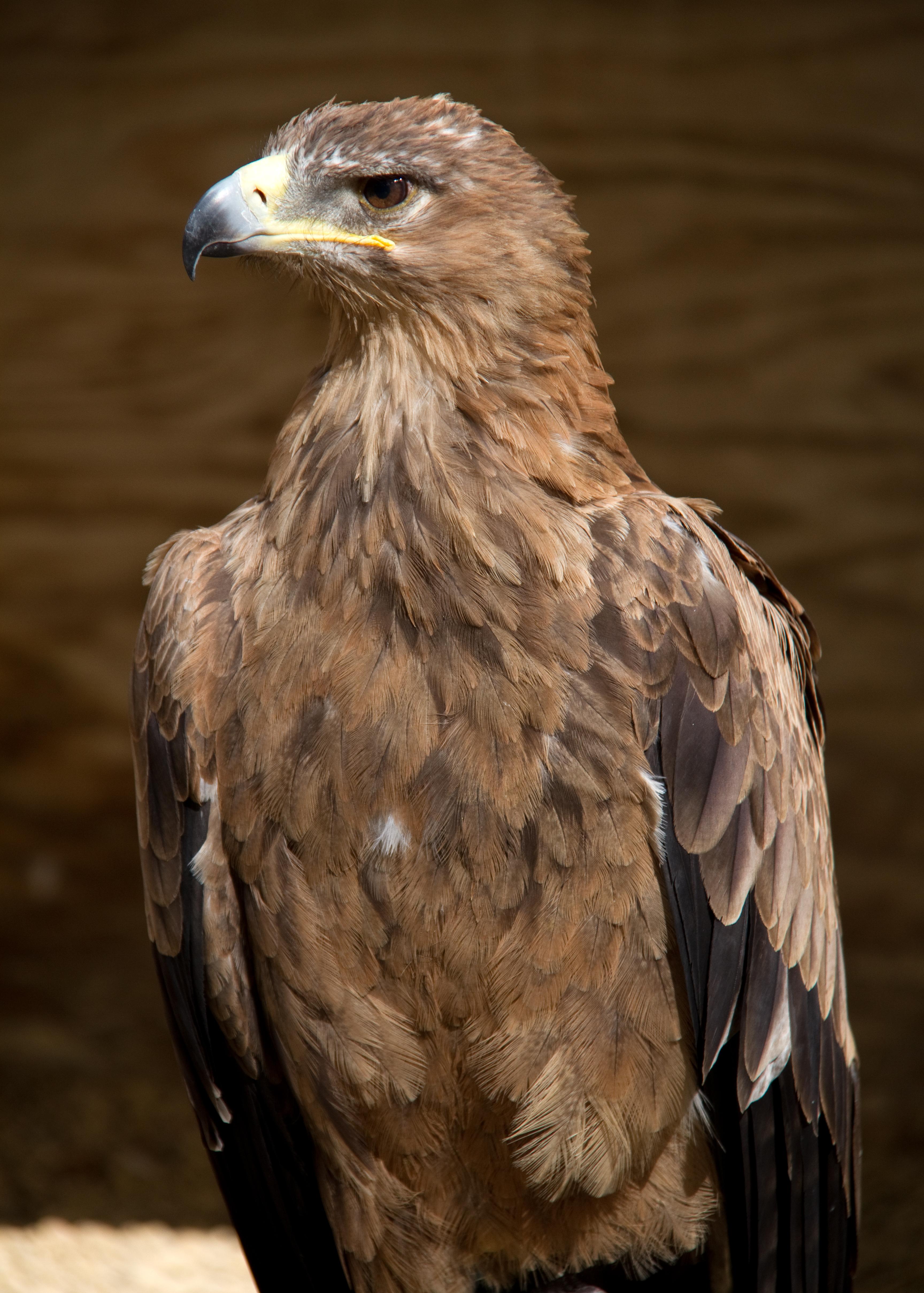 File Indian Tawny Eagle 6022462226 Jpg Wikimedia Commons