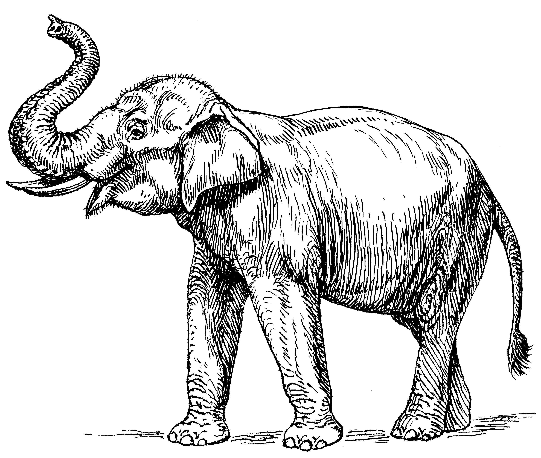 Line Drawing Elephant : File indian elephant psf wikimedia commons