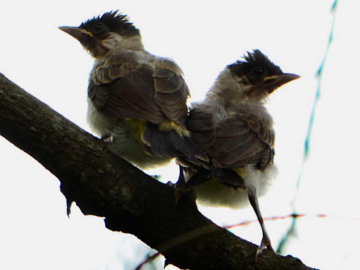 File Kutilang Pycnonotus Aurigaster Jpg Wikipedia