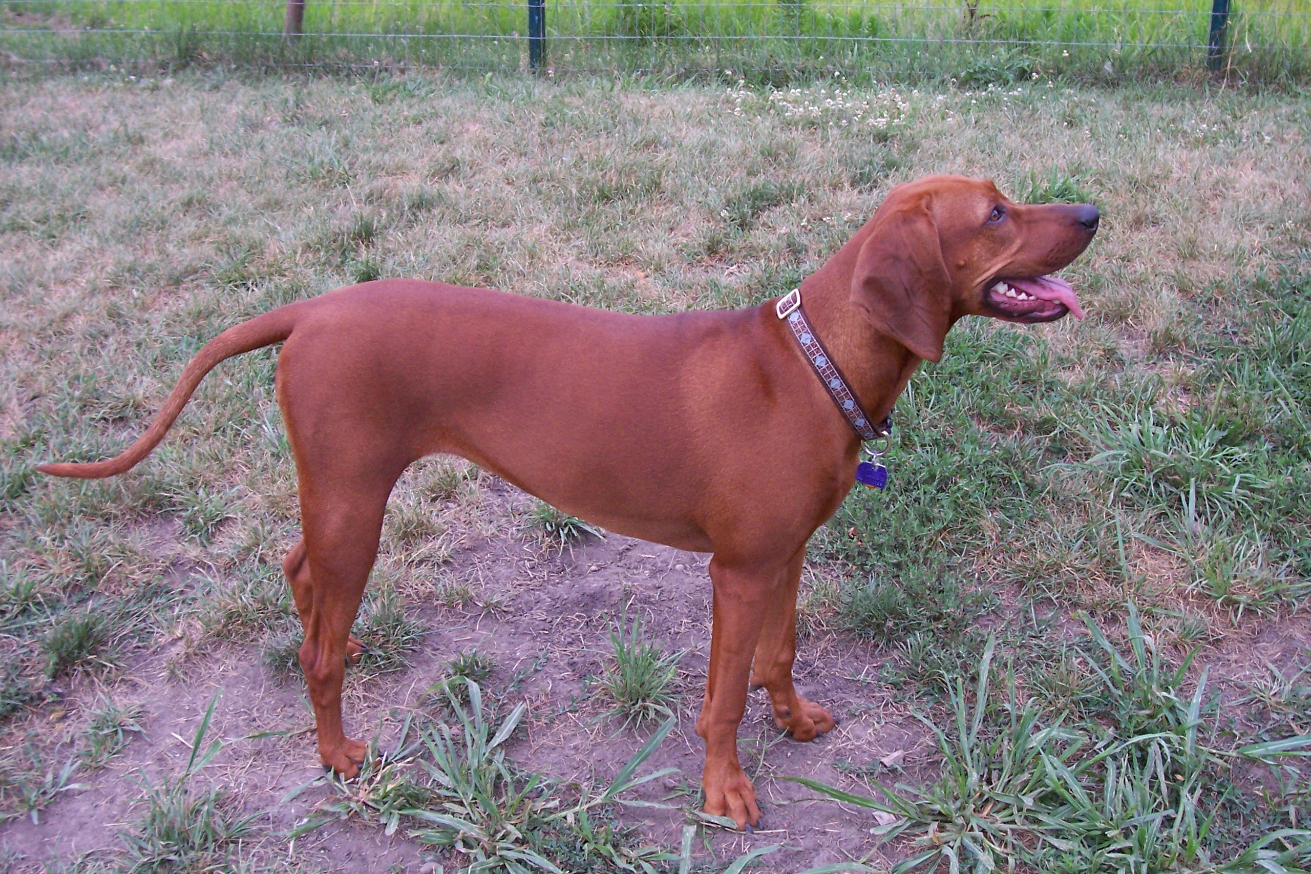 Redbone Coonhound Wikipedia