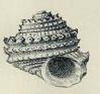 Liotiidae - Wikipedia