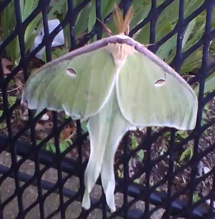 File:Luna Moth 1.jpg