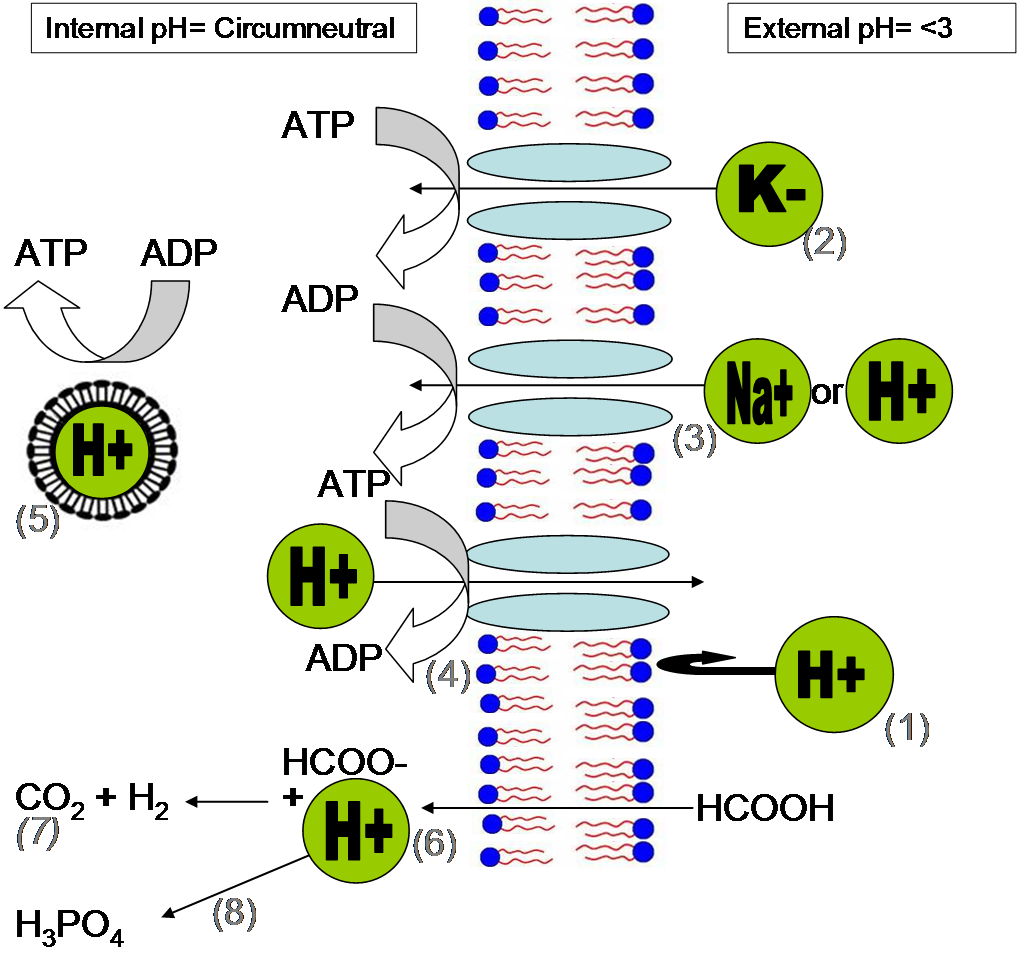 Cell structure of bacteria with diagram - File Methods Of Ph Homeostasis And Energy Generation In Acidophiles Png