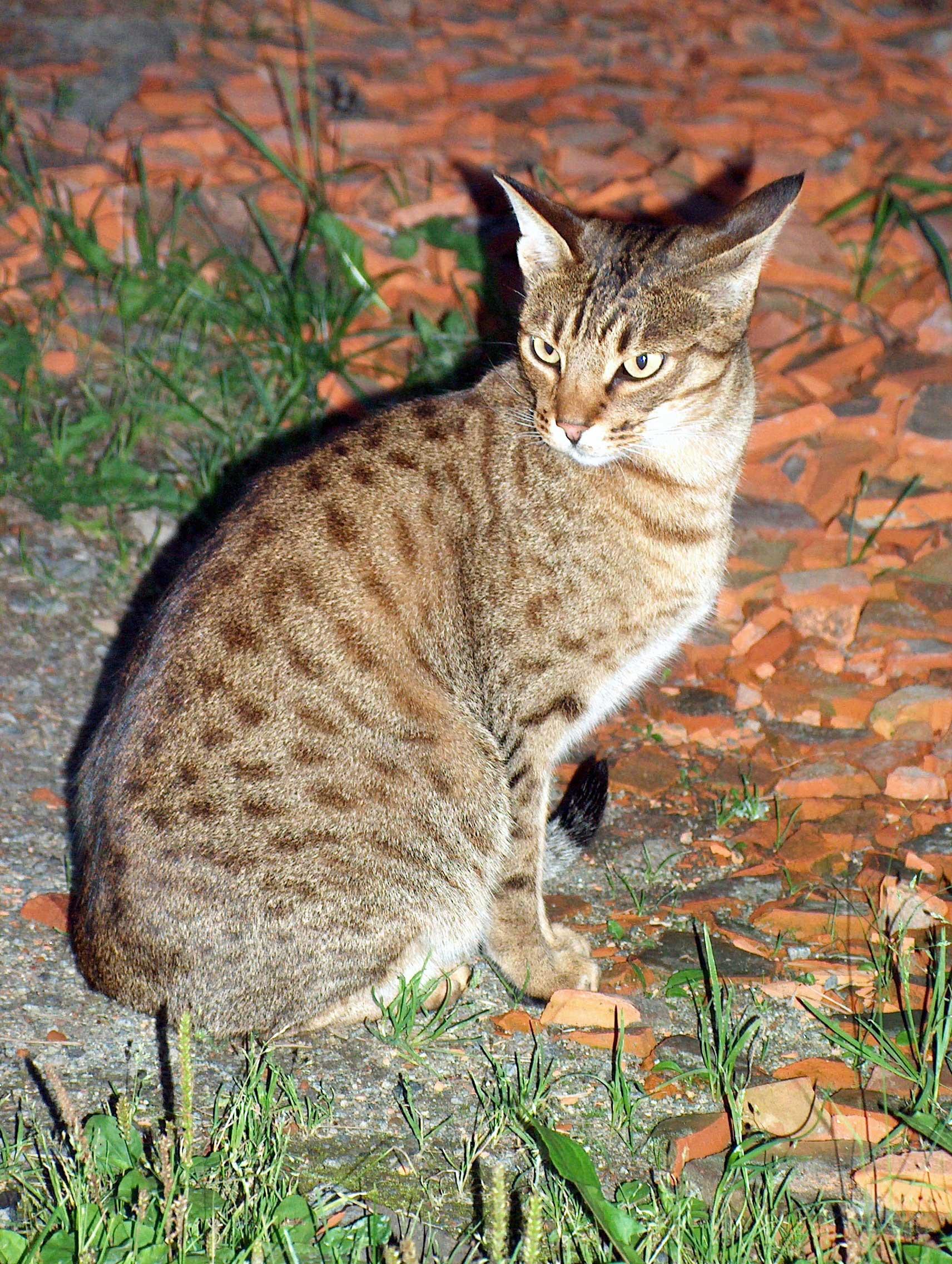 ファイル ocicat sitting jpg wikipedia