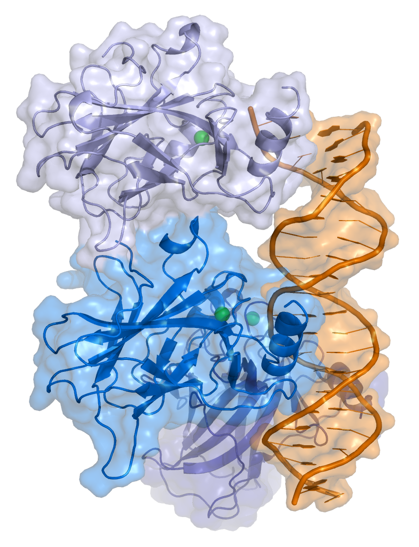 p53 protein