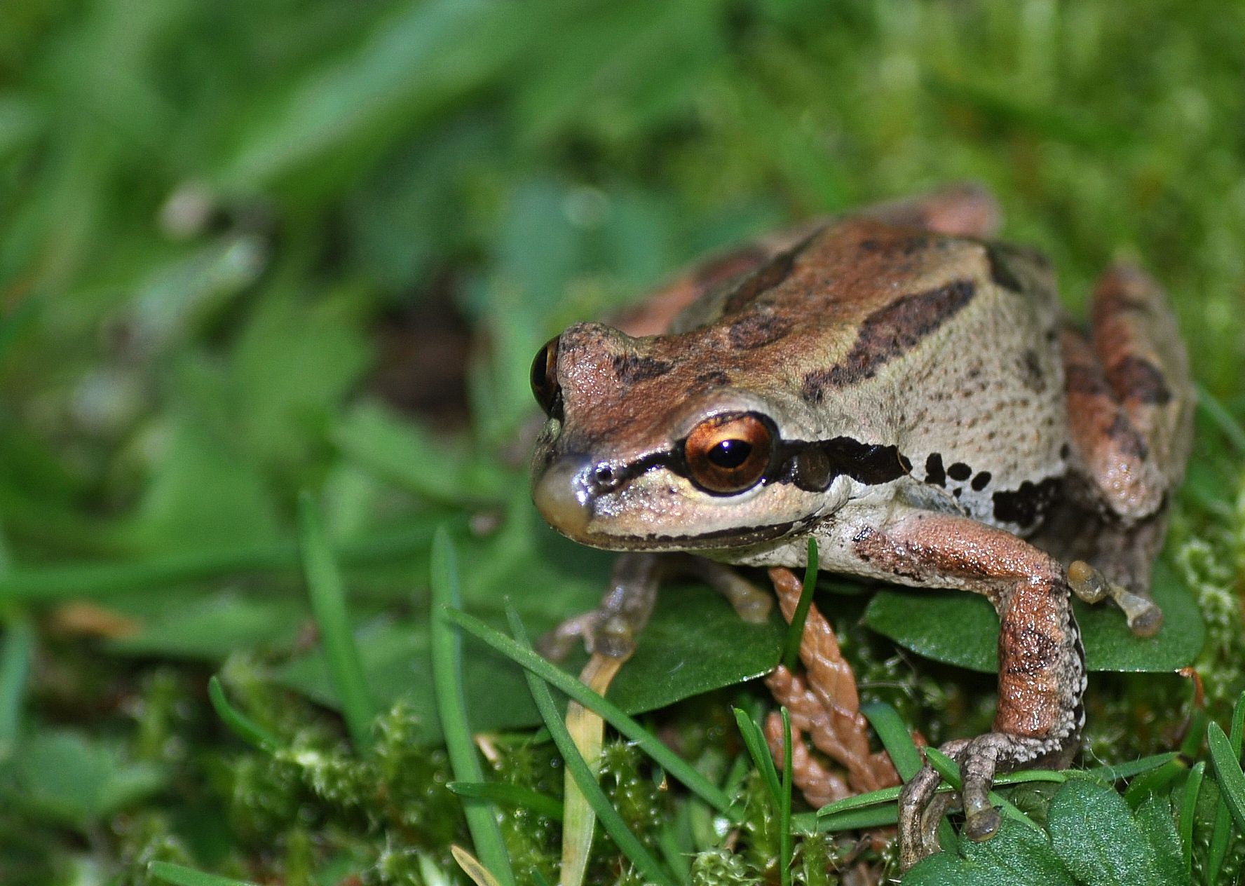 file pacific tree frog pseudacris regilla jpg wikimedia commons
