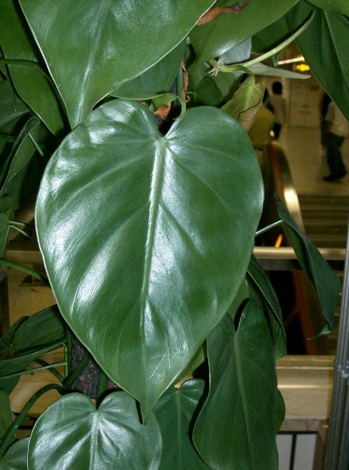 Philodendron hederaceum wikipedia for Indoor gardening wikipedia