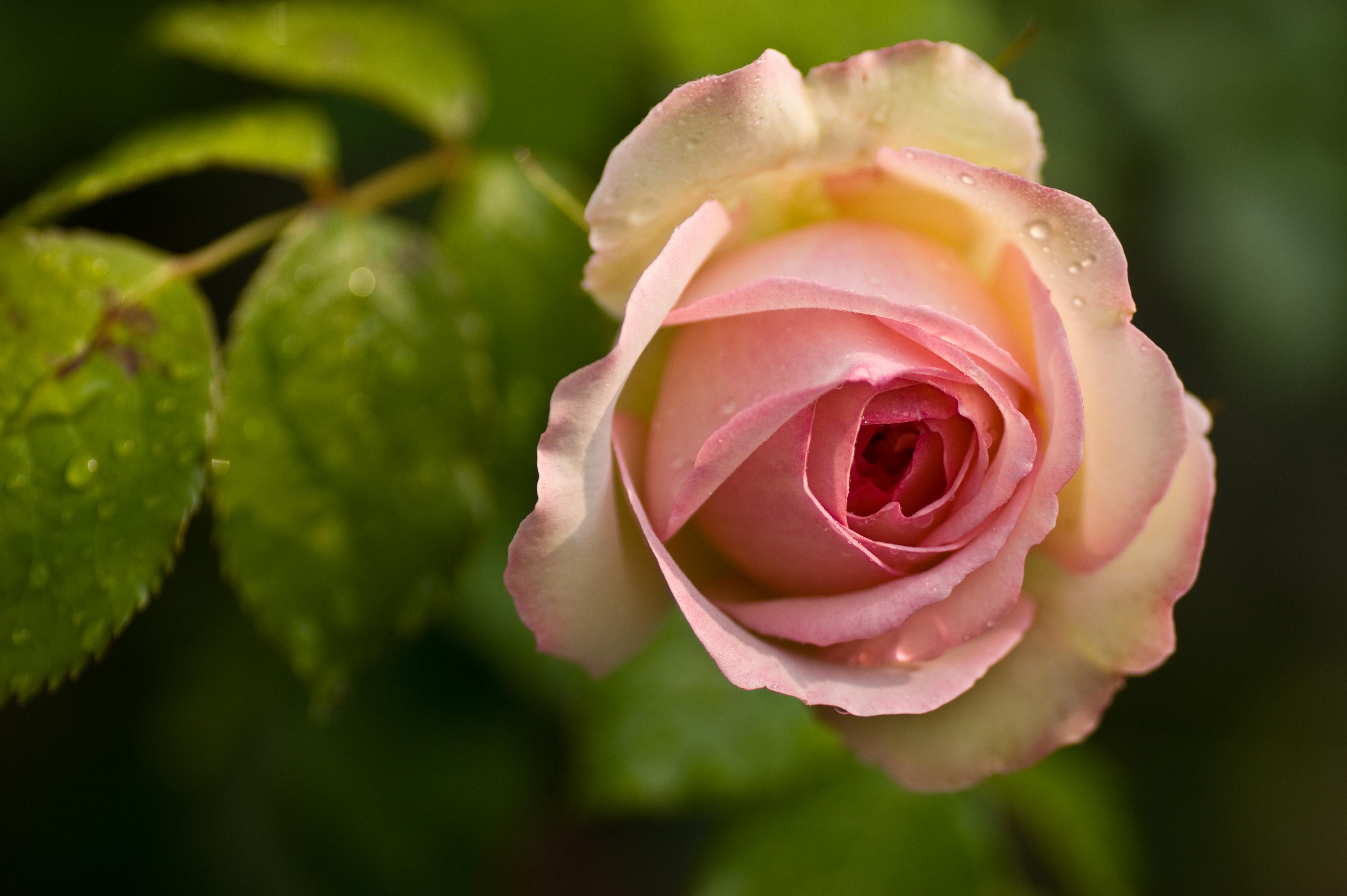 flower pink rose: