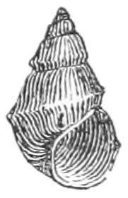 Pyrgulopsis nevadensis shell.jpg