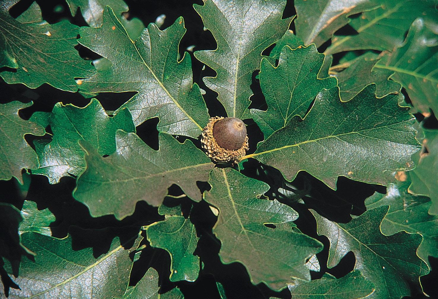 Quercus macrocarpa - Wikipedia