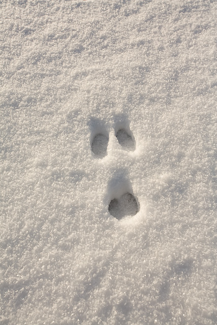 Picture of Rabbit Footprint http://commons.wikimedia.org/wiki/File:Rabbit_footprint_in_fine_powdery_snow_-_geograph.org.uk_-_1655887.jpg