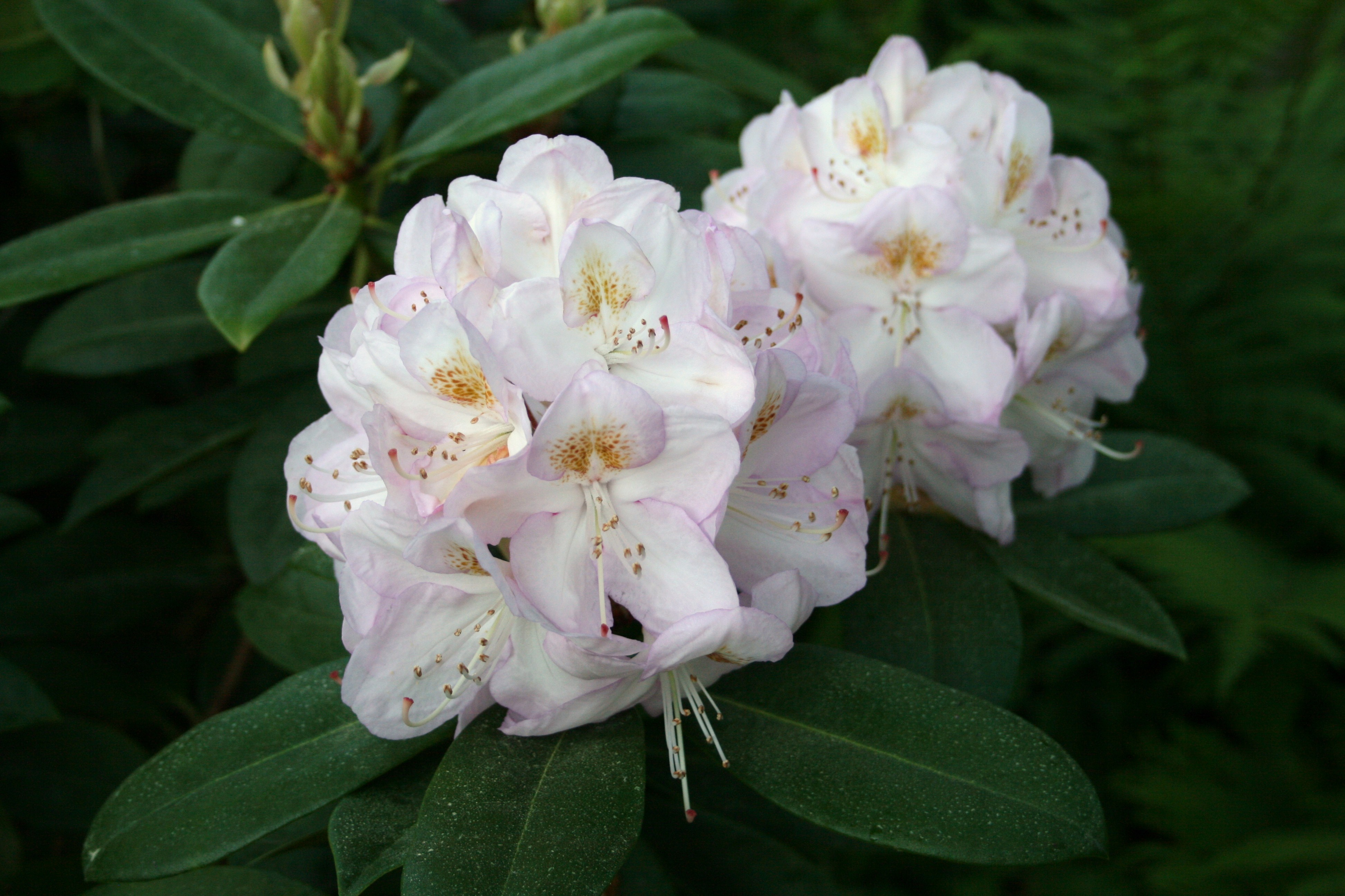 File Rhododendron Gomer Waterer