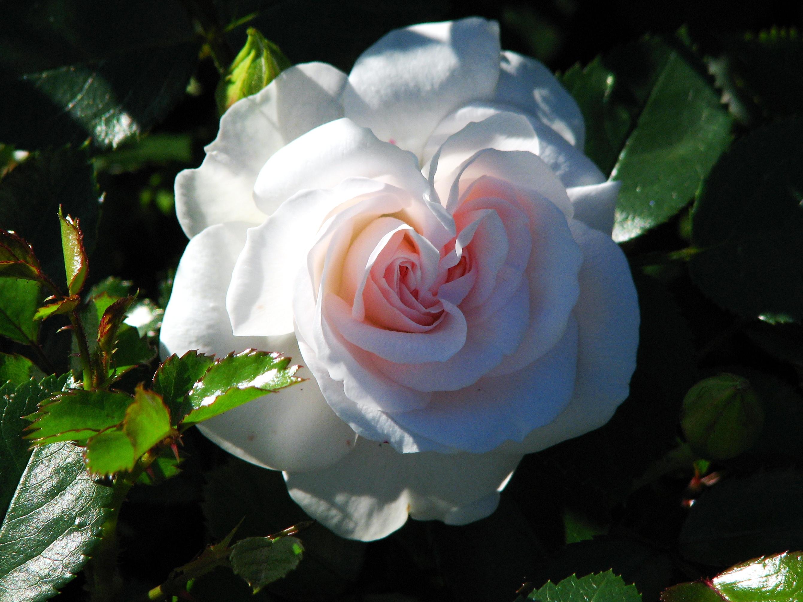 file rosa 39 aspirin rose 39 jpg wikimedia commons. Black Bedroom Furniture Sets. Home Design Ideas