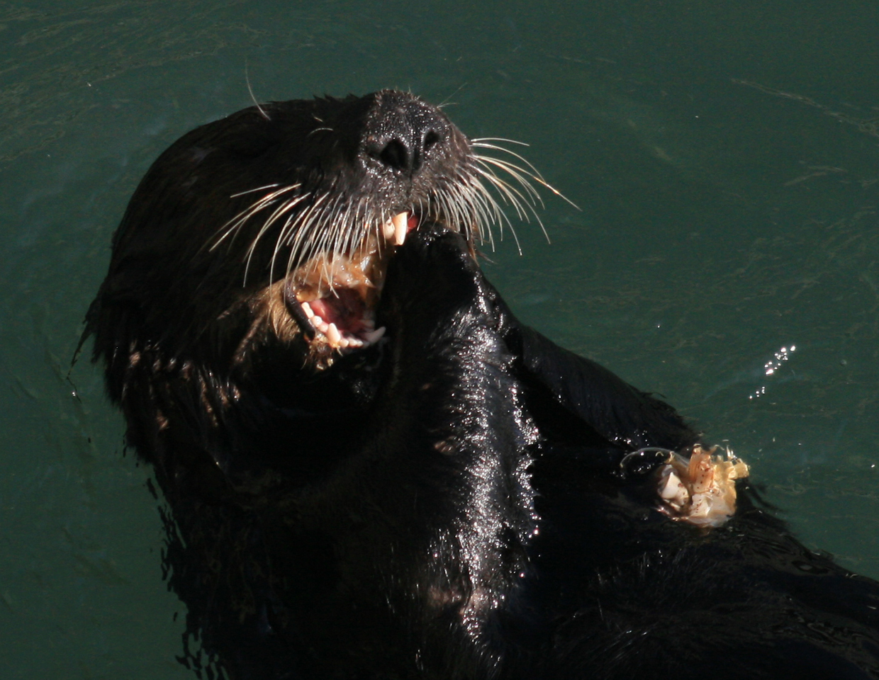 Sea Otter Eating A Mussel - Close Up With Teeth | Michael ... |Sea Otters Eating Bears