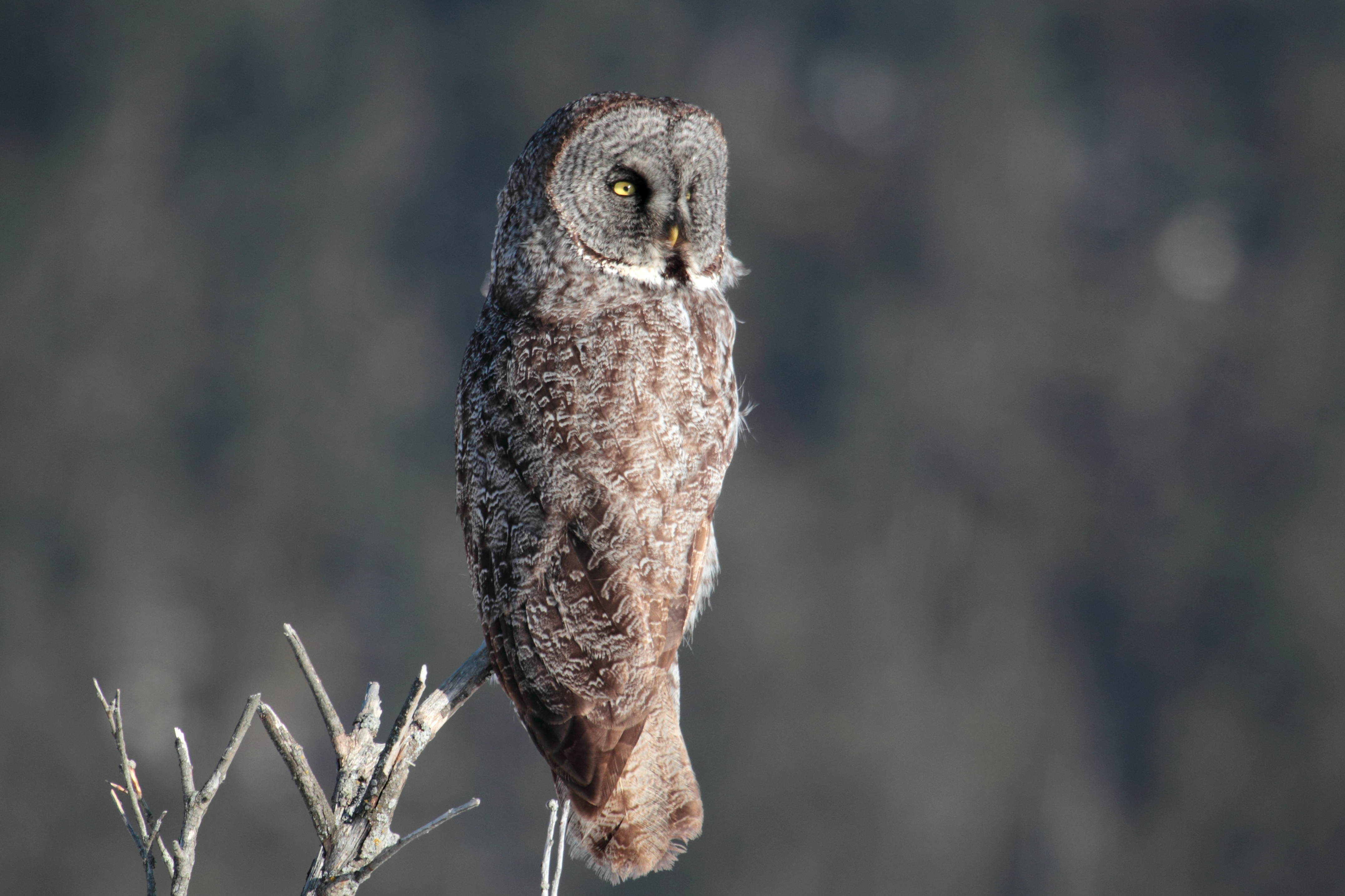 great gray owl facts - 1024×683