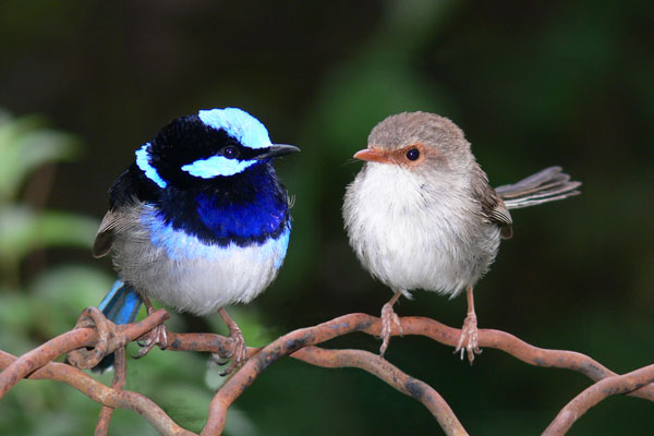 Archivo:Superb blue fairy wrens pano.jpg