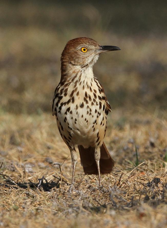 brown thrasher - wikipedia