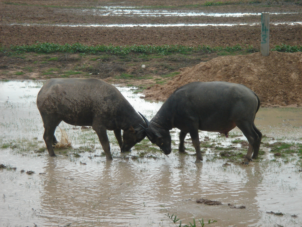 An unstaged water buffalo fight