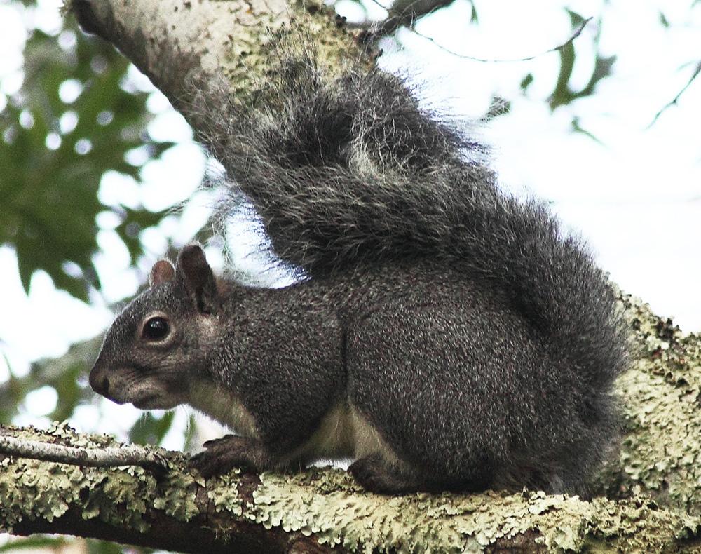 Western gray squirrel - Wikipedia