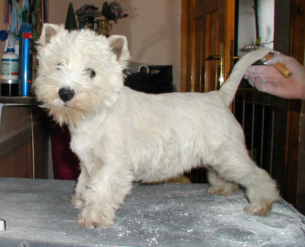 File:Westie puppy groom.jpg - Wikimedia Commons