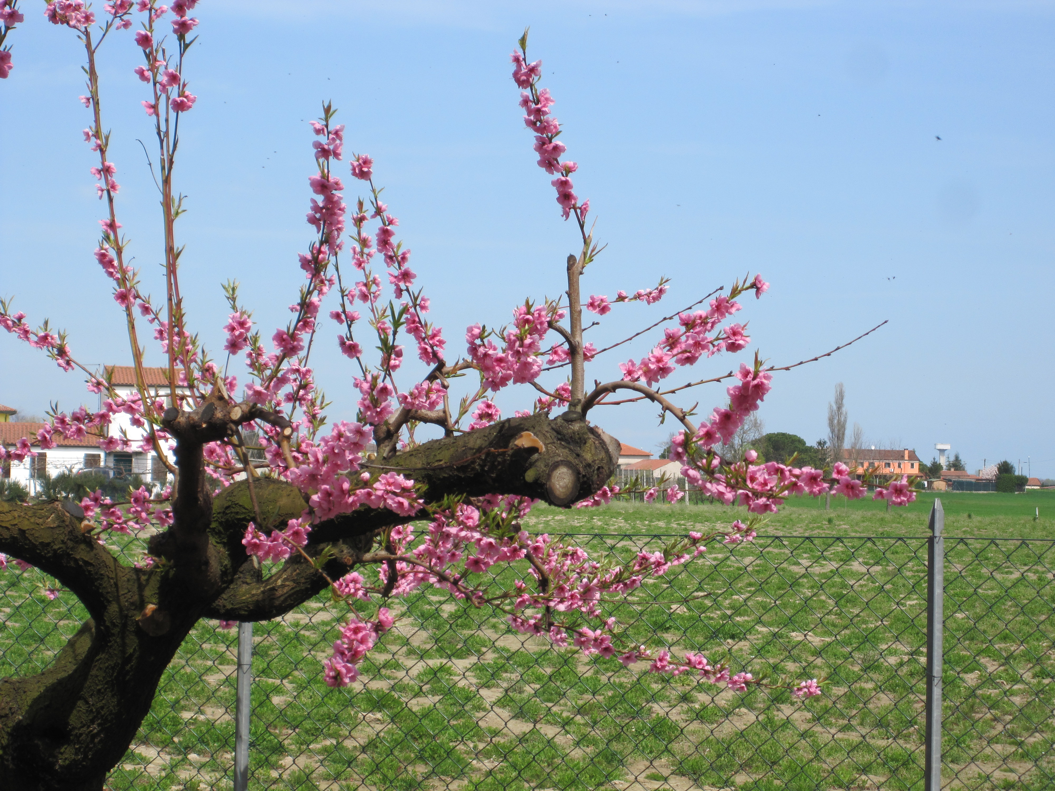 File 13 Italy Peaches In Bloom Spring Flowers Of Tree Fruit