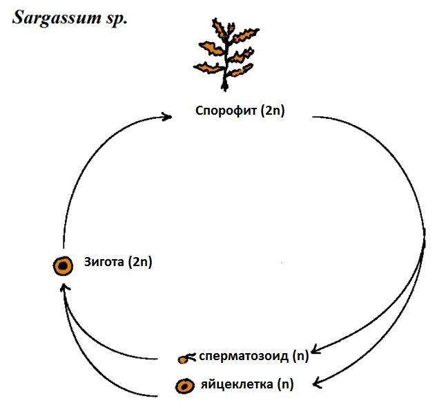 Схема диплофазного жизненного