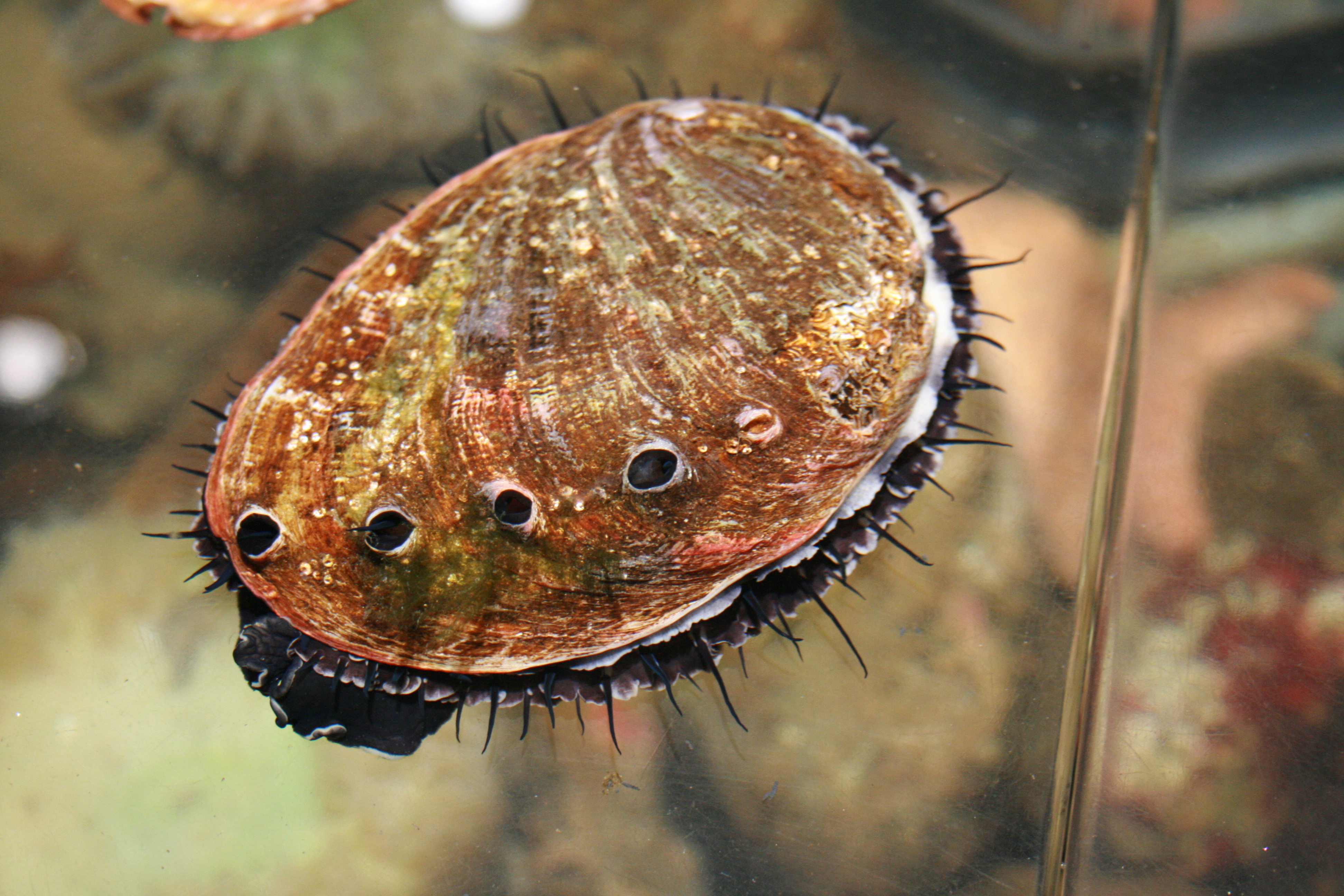 Image result for Abalone