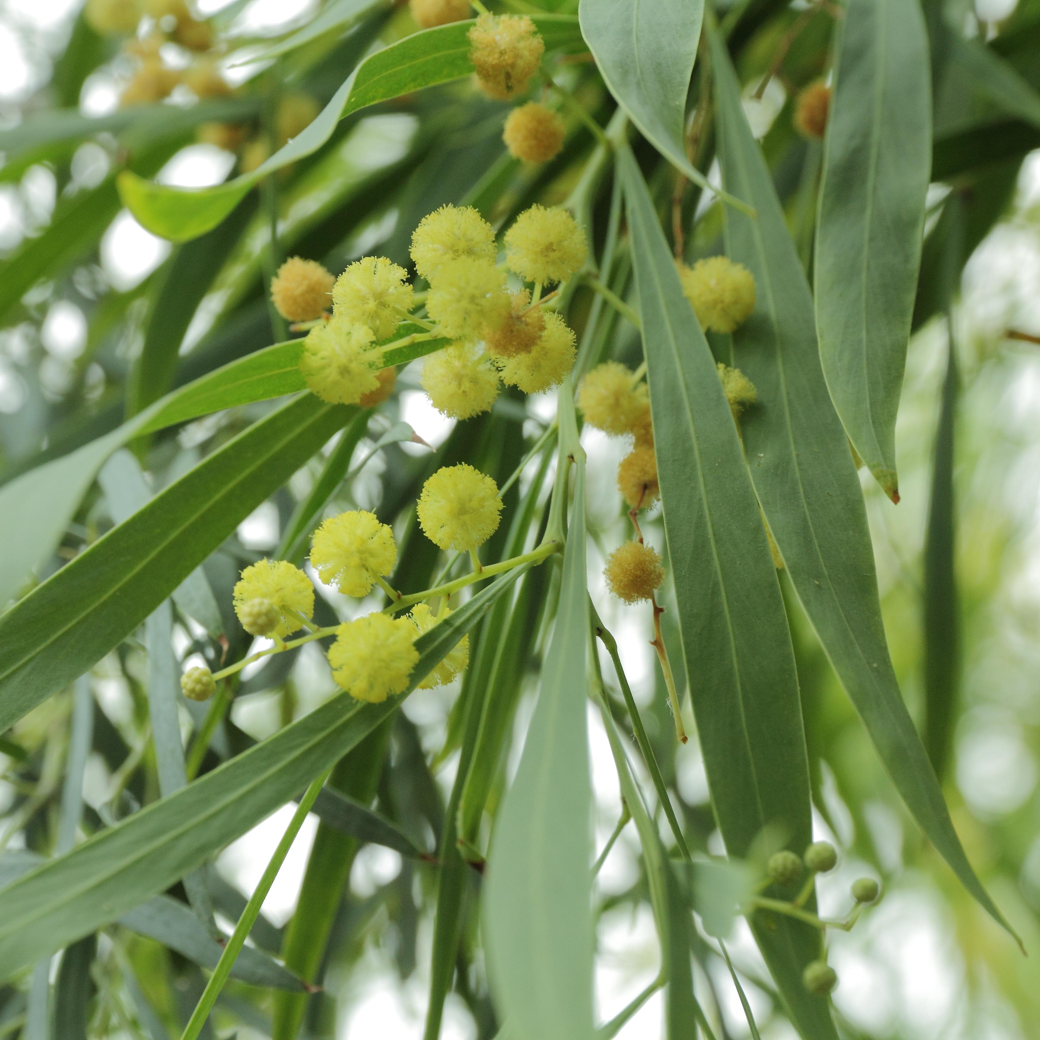 File:Acacia retinodes-IMG 4384.jpg