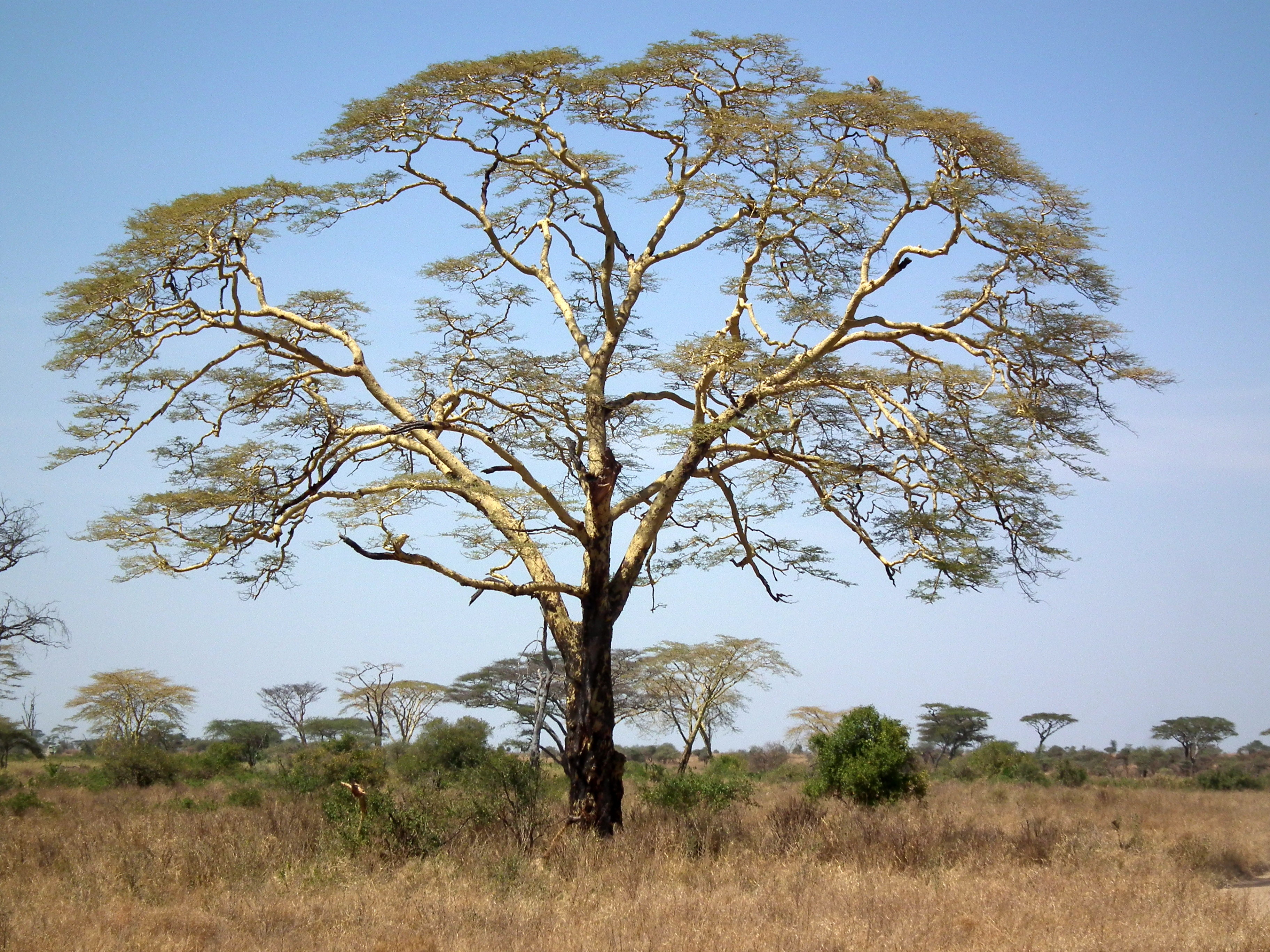 File:Acacia Xanthophloea Fever Tree In Tanzania 2873 Nevit.jpg